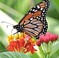 Asclepias curassavica planta hospedeira da borboleta monarca Danaus plexippus erippus