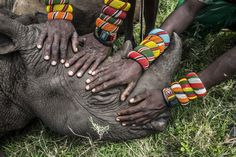 A group of young Samburu warriors encounter a rhino for the first time in their lives. Most people in Kenya never get the opportunity to see the wildlife that exists literally in their own backyard.