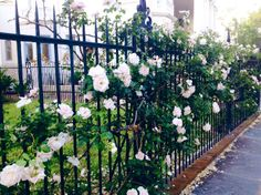 Gorgeous roses popping up all over town...love these on South Battery, South of Broad, Charleston, SC #roses #spring #charleston #southofbroad