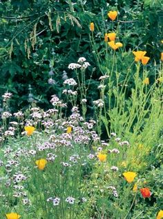 A Native Garden in Palo Alto, California—Birds-eyes gilia and California poppies reach toward the sky. Anns many varieties of poppies cross-pollinate on their own, producing surprising new colors every year.