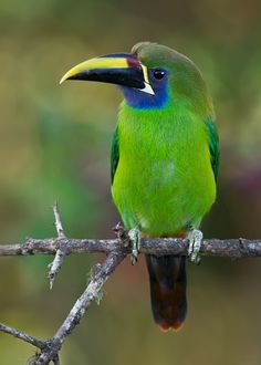 ~~Emerald Toucanet by Doug Brown~~