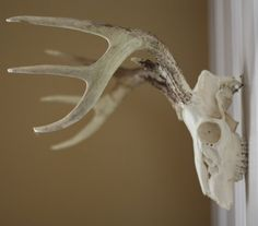 How to clean & hang skull + antlers.