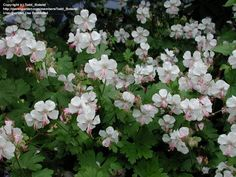 PlantFiles Pictures: Cranesbill 'Biokovo' (Geranium x ...