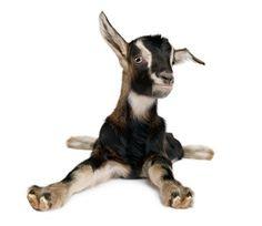 The Fainting Goat Phenomenon...I love my fainters!
