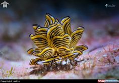 Cyerce nigra Nudibranch in Romblon - Philippines