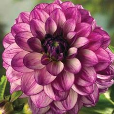 Seduction Decorative Dahlia  SKU: 01302 Another winner.  Will definitely get more tubers.