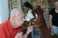 Therapy alpaca, Eduardo, at Highgate Senior Living http://www.rojothellama.com/
