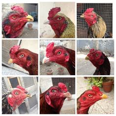 Bird Breeds, Game Fowl, Peafowl, Chickens And Roosters, Chicken Breeds, Hens, Pet Birds, Poultry, Animals And Pets