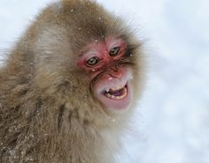 Snow Monkey photo by Harry Eggens Gorillas In The Mist, Japanese Macaque, Monkey Park, Coffee And Cigarettes, Primates, Old World, Snow Monkeys, Pictures, Photos