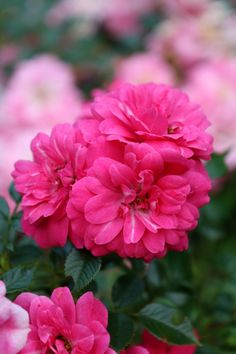 "boschintegral-photo: ""Summer Roses """