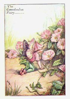 Convolvulus Summer Flower Fairy