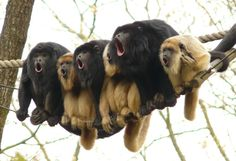 The singing Gibbons..haha