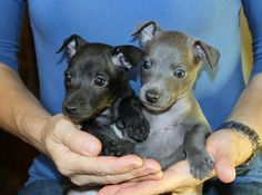 Italian Greyhound (Sighthound) breeder in Europe Sunnymoon Place. You could buy Italian Greyhound puppy here. Italian Greyhound Puppies, Pli, Black Boys, Puppies For Sale, Baby Animals, Pitbulls, Dogs, Italian Greyhound, Black Kids