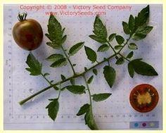 Fioletovyi Kruglyi Tomato