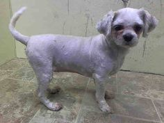 Brooklyn Center DAISY - A1015555 SPAYED FEMALE, WHITE, SHIH TZU MIX, 5 yrs STRAY - ONHOLDHERE, HOLD FOR ID Reason STRAY Intake condition UNSPECIFIE Intake Date 09/27/2014, From NY 11418, DueOut Date 10/05/2014, Medical Behavior Evaluation GREEN Medical Summary SCAN POSITIVE:985121004940733 BRIGHT, ALERT, RESPONSIVE, HYDRATED PHYSICAL EXAM- Heavy dental tartar Gingivitis Old/healed wound at base of L.ear Tattoo present abdominal midline NOSF Weight 14.6