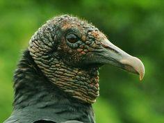 Foto urubu-de-cabeça-preta (Coragyps atratus) por Douglas Oliveira | Wiki Aves - A Enciclopédia das Aves do Brasil
