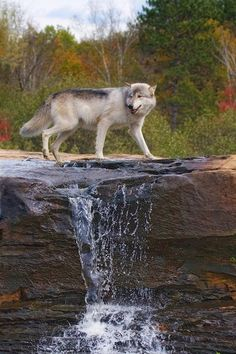 Majestic gray wolf pictures proved to be helpful in preventing the spread of chronic wasting disease and contagious neurological disease in deer. Wolf Photos, Wolf Pictures, Animal Pictures, Wild Life, Wolf Love, Beautiful Creatures, Animals Beautiful, Cute Animals, Wild Animals
