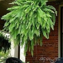 Keep the fern in the same pots they come in, every other day submerge them in a 5 gallon bucket filled with 1/2 cup of epson salts 3 gallons of regular water until the soil stops bubbling, then hang up to drip dry... ferns will be dark green, glossy, and 3x3 by September from ferns that start out with 7 fronds in May.