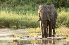 #Elephant bull crosses the river in front of #MalaMala camp.