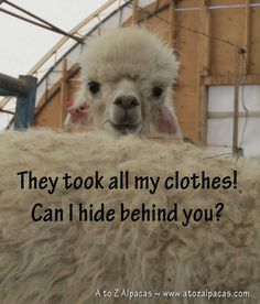 What a sheepish look from this alpaca who has been shorn for the first time. lol