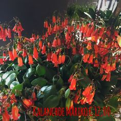 Nuovi arrivi fiori recisi piante e fiori #violaciocca #rosa #tulipano #kalanchoemariko # kalanchoecroco #bergenia   #treviso #fiori #piante