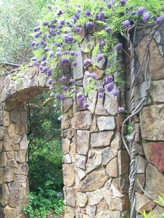 Blooming American Wisteria winding up a wall at the Lewis Ginter Botanical Garden in Richmond, Virginia.