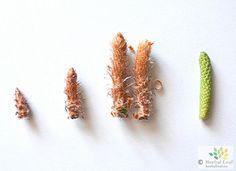 Pine buds – aroma home cure  #herbs #herbal #pine #aroma #ziola #aromatoterapia #aromatotherapy