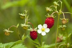 How to harvest wild berries foraging for beginners discover this container gardening plan 6524121396 to attempt now containergardeningforbeginnersfruit