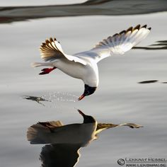 Black-headed gull swoops down to look at a perfect reflection in the still water. Or is he looking into the water?