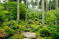 Sanzenin Temple Cryptomeria (jap cedar) & maple trees interspersed with flowering bushes and rocks