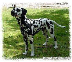 dalmatian pictures | Dalmatian Puppies Breeders Dalmatians