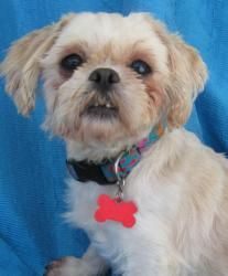 Sophia Elizabeth is an adoptable Shih Tzu Dog in Cuba, NY.  No More Puppies for Me! Sophia was born about January 14, 2005 and weighs about 15 lbs. She is one of our Elizabeth Collection and they are...