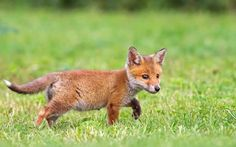 So cute baby fox Cute Animals Puppies, Baby Puppies, Cute Baby Animals, Baby Animals Pictures, Baby Pictures, Baby Red Fox, Baby Foxes, Walking, Cute Animal Videos