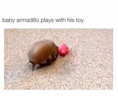 Armadillo plays with his toy!Baby Armadillo plays with his toy! Cute Funny Animals, Cute Baby Animals, Animals And Pets, Cute Creatures, Beautiful Creatures, Animals Beautiful, Cute Animal Videos, Funny Animal Pictures, Animal Memes