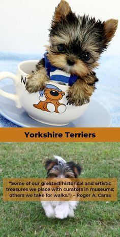 """Check out our web site for more info on """"Yorkshire terrier puppies"""". It is a superb spot to learn more. Yorkshire Terrier Puppies, Terrier Dogs, I Love Dogs, Cute Dogs, Yorky, Puppy House, Yorkie Puppy, Chihuahua, Puppy Care"""
