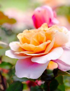 Tribute 35 Regenbogen Rose Rosen Samen Rainbow Cream Seeds Geschenk