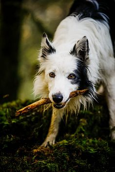 Intense and beautiful border collie Haku with a stick.