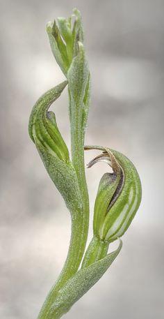 Pterostylis atriola - Flickr - Photo Sharing!