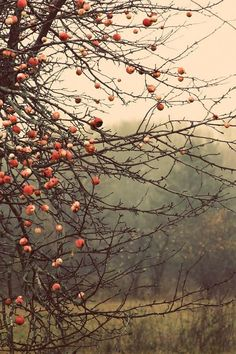 ***Autumn apples (USA) by judeMcConkeyPhotos
