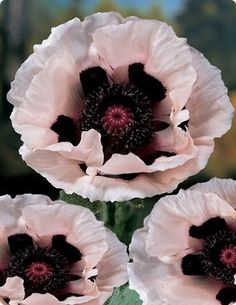 Oriental Poppies - wish I could grow them here.....