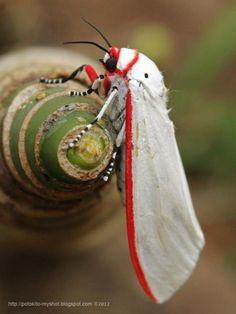 White Winged Red Costa Tiger Moth (Aloa lactinea), Sumatra Indonesia