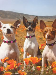 Gorgeous Rat Terriers
