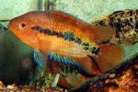 RAINBOW CICHLIDS (Archocentrus Multispinosus) TROPICAL FISH