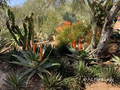 Tired of a 'blah' winter's landscape? In the low desert garden, you'll find plants that bloom in winter. Take a stroll with me and see what's in bloom. Garden S, Winter Garden, Garden Plants, Desert Botanical Garden, Botanical Gardens, Yellow Flowers, Wild Flowers, Drought Tolerant Garden, Small Shrubs