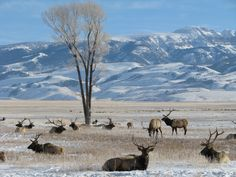 https://flic.kr/s/aHsjwqAxc2 | Wintering Elk at National Elk Refuge | The National Elk Refuge provides winter range for the Jackson Elk Herd. Elk begin migrating to the refuge as early as October, depending on available forage in adjoining areas, weather, and other factors. When winter approaches and cold weather settles in, elk migrate in larger numbers from the high country to the valley floor.   Thousands of elk make their winter home on the National Elk Refuge, while others use State…