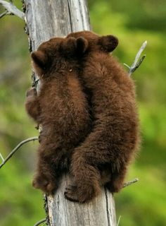 """""""Hey, I was here first, knock it off!"""" said the first baby bear climbing the tree."""