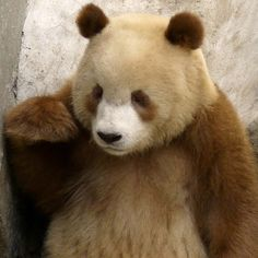 "Qizai is a rare ""Qingling Panda,"" and is only the ""Seventh (7th) Brown Giant Panda spotted in the last Twenty-Five (25) years."