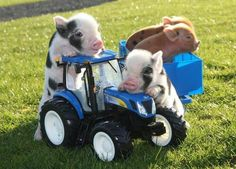 Miniature piglets at Pennywell Farm, Buckfastleigh, Devon, Britain - 2011 Cute Small Animals, Cute Funny Animals, Animals And Pets, Baby Animals, Pug Pictures, Animal Pictures, Pig Pics, Tout Rose, Teacup Pigs