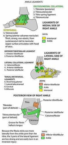 Instant Anatomy - Leg - Joints - Ankle Ligaments (Effects Of Bad Posture Products) Muscle Anatomy, Body Anatomy, Ankle Anatomy, Ankle Ligaments, Sports Therapy, Podiatry, Human Anatomy And Physiology, Medical Anatomy, Athletic Training