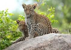 Leopard Cubs (by MalaMala Game Reserve)